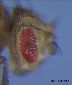 vestigial drosophila crossed with white eyes Drosophilacome in vials with a white piece of netting and drosophilamedia for  food  cross female x male monohybrid a sepia x wild dihybrid b vestigial x  sepia sex-linked c  white eyes, crossveinless wings, forked bristles (w cv f.