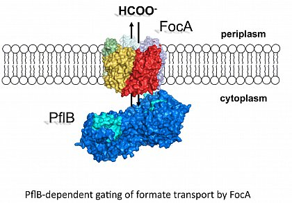 PflB dependent gating of formate transport by FocA